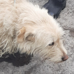 Found dog on 16 May 2021 in Corkagh Park. found, now in the dublin dog pound...Date Found: 12/05/2021 Location Found: Corkagh Park
