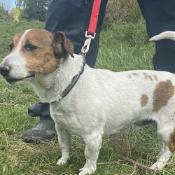 Found dog on 16 May 2021 in dublin... found, now in the dublin dog pound... Harry South Dublin County Council   Harry came in as a stray on the 6/5/21. He is a bubbly little guy who is approx. 3 years . He is very playful and loves to be out on his walks.  He is currently looking for his owners and if not reclaimed can be viewed for adoption from 13/5/21.
