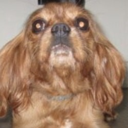Found dog on 16 Oct 2018 in Aughram area. found...Wicklow Dog Pound October 12 at 9:17 AM ·  Dolly (pound name) is a female Cavalier King Charles found in Aughram area. For further information please contact Wicklow Dog Pound at 0404-44873