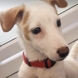 Found dog on 16 Oct 2018 in Blessington Co Wicklow.. found...DSPCA Page Liked · 50 mins ·    male 3 month old Jack russell pup found 15/10/18 in Blessington Co Wicklow.