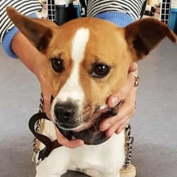 Found dog on 16 Oct 2018 in crumlin. found DSPCA Page Liked · 22 hrs · Edited ·    Male adult (not neutered jack russell terrier cross found 12/010/18 in Crumlin.