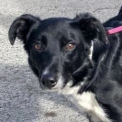 Found dog on 16 Oct 2021 in clondalkin. found, contact dublin dog pound...Dublin County Dog Shelter 0YSetlste0urreda9y fat 1u:12 PM06  ·  B/W adult female collie cross found 15/10/21 in Clondalkin D22. Currently with finder. Please contact the shelter if this is your dog on 0873914008. Proof of ownership required.