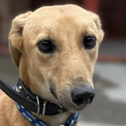 Found dog on 16 Oct 2021 in Leopardstown . found, now in the dublin dog pound in hollygrove..Dublin County Dog Shelter 7gmSos1o9fd0  ·  Stray Female Lurcher found in Leopardstown area.  Proof of ownership required If you think this may be your dog please call us on 0873914008