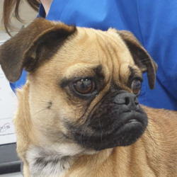 Found dog on 17 Aug 2020 in ashbourne. found..Village Vets AshbourneLike Page 7h ·  **DOG FOUND**  This little one was dropped into us. If you know anything please call us on 018499973  Proof of ownership will be required