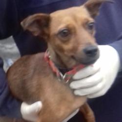 Found dog on 17 Dec 2018 in Firhouse. found, now in the dublin dog pound...Date Found: 14/12/2018 Location Found: Firhouse