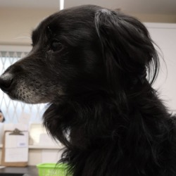 Found dog on 17 Jul 2019 in mulhuddart. found...Village Vets 7 hrs FOUND DOG  Found in Mulhuddart near Parnell Estate. If anyone has any information please call our Clonsilla clinic on 018213189