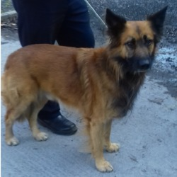 Found dog on 17 May 2018 in Maplewood Springfield Tallaght. found, now in the dublin dog pound...ˇDate Found: 16/05/2018 Location Found: Maplewood Springfield Tallaght