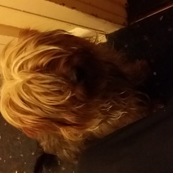 Found dog on 17 Oct 2019 in Dublin Finglas . Found Yorkshire terrier, male, not chipped, no collar,appears young, found outside Supervalu, FingLas on 17th Oct.