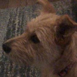 Found dog on 18 Aug 2020 in swords. found...to Lost & Found Pets Swords 6h ·  Little dog found near seatown villas tonight