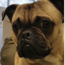 Found dog on 18 Dec 2019 in Stamullen. found..Shenick Veterinary CentreLike Page 43 mins ·  Not neutered male pug found near the school in Stamullen. Not chipped. Currently in our Stamullen Clinic.