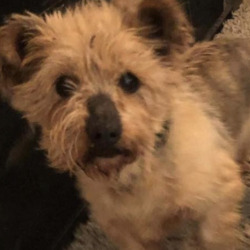 Reunited dog 18 Feb 2021 in Walkinstown. UPDATE REUNITED...found..Yorkshire Terrier Rescue Ireland.