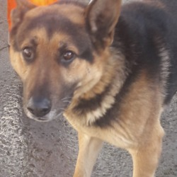 Found dog on 18 Jan 2019 in Oakwood Est clondalkin. found,now in the dublin dog pound.Date Found: