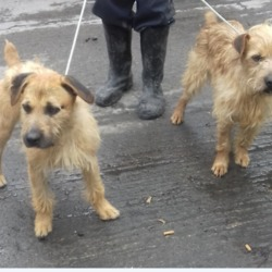 Found dog on 18 Jul 2019 in Square Tallaght. found. now in the dublin dog pound...Date Found: 16/07/2019 Location Found: Russell Square Tallaght