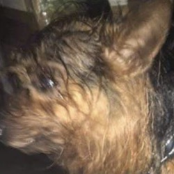 Found dog on 18 Mar 2020 in clonsilla. found...Yorkshire Terrier Rescue Ireland.
