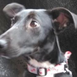 Found dog on 18 Mar 2020 in oliver bond flats, . found..PLEASE SHARE Dog found last night in oliver bond flats, very friendly,Irish pound dogs