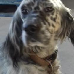 Found dog on 18 Oct 2018 in Connellstown, . found...Meath Dog Shelter 1 hr ·  Ref 261, English setter, found straying with another setter in Connellstown, Enfield. Contact 0870973911 with any information