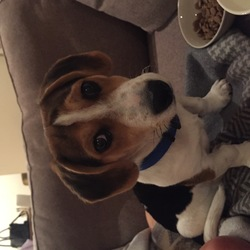 Found dog on 19 Aug 2019 in Kilcross/Sandyford area. Male Beagle and/or Jack Russell puppy found with no name tag wearing blue collar, brown floppy ears with black spots across body. Black and brown spots on face. mostly black. Very friendly, found at entrance to Kilcross estate in Dublin 18 near Sandyford Village. Contact Aaron at 0892568152