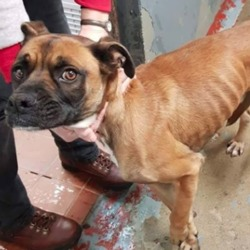 Found dog on 19 Dec 2018 in cork. found..CARE Rescue CorkLike Page 1 hr ·  This poor boy was hit by a car and was dragged under it while it moved. He is so lucky to be alive. He is now in our vet after a two operations on his legs. He needs a quiet foster home while he recovers. He will be on crate rest for a few weeks. He is a small boxer and is very underweight too. We have called him Chris. Please message if you can help 🐾