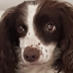 Found dog on 19 Oct 2018 in Glasnevin.. found...DSPCA Page Liked · 19 hrs ·    Female older Springer spaniel found 16/10/18 in Glasnevin.