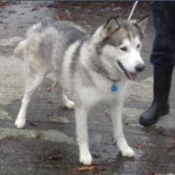 Found dog on 19 Oct 2018 in Tallaght Belgard Road. found, now in the dublin dog pound....Date Found: 16/10/2018 Location Found: Tallaght Belgard Road