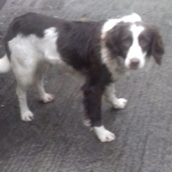 Found dog on 20 Dec 2018 in Rathcoole. found, now in the dublin dog pound...Date Found: 19/12/2018 Location Found: Rathcoole