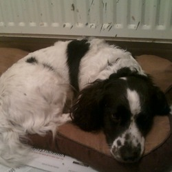 Found dog on 20 Feb 2010 in Dun Laoghaire. Black and White Springer Spaniel Found Rochestown Avenue Dun Laoghaire on Thursday very gentle