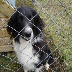 Found dog on 20 Jan 2010 in emill nr cloughjordan. black and white female collie cross about 2 years old very friendly
