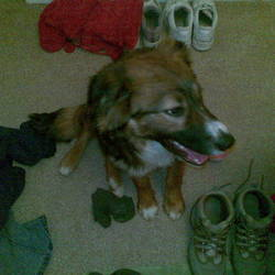 Found dog on 20 Jan 2010 in Tallaght. Brown/black collie mix male approx 1-3 years old. In good condition, has basic commands so must be someone's pet