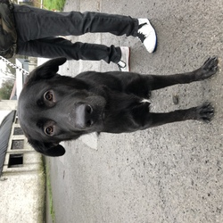 Found dog on 20 Jan 2019 in Dublin. Male young male lab x found in Phoenix park last night. Founder brought to Ashton pound today