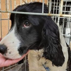 Found dog on 20 May 2021 in athy,.. recovered from athy...Midwest Radio AtparSilSdpgg ongso9driedf  ·  Gardai have recovered sixteen dogs and pups which are believed to have been recently stolen. The dogs were found during searches at two houses in Athy today.   If you recognise these dogs or have any information contact Athy or Carlow Garda Station.
