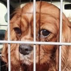 Found dog on 20 May 2021 in athy. believed stolen, recovered from athy...Midwest Radio AtparSilSdpgg ongso9driedf  ·  Gardai have recovered sixteen dogs and pups which are believed to have been recently stolen. The dogs were found during searches at two houses in Athy today.   If you recognise these dogs or have any information contact Athy or Carlow Garda Station.