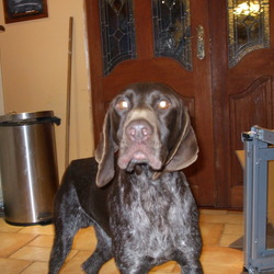 Found dog on 20 Sep 2009 in Ardee Louth. German Pointer Liver Male found near Ardee Co Louth