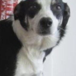 Reunited dog 20 Sep 2018 in Ashford area. update reunited...found...is a female collie found in Ashford area. Please contact Wicklow Dog Pound at 0404-44873 for further information.