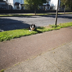 Reunited dog 20 Sep 2019 in Maynooth. Black and white young collie dog wandering near Straffan Wood Maynooth. Very Friendly young dog. Contact 0860778966