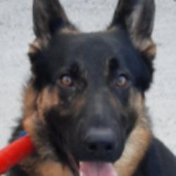 Found dog on 21 Apr 2021 in Greenfort Est. found, now in the dublin dog pound...Date Found: 20/04/2021 Location Found: Greenfort Est
