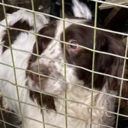 Found dog on 21 Apr 2021 in kerry. Assumed stolen, now found.... north Kerry share and contact 0873512719 if you recognise  Munster lost and found pet helpline