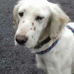 Reunited dog 21 Aug 2019 in Puddenhill,. UPDATE REUNITED...found...Meath Dog Shelter