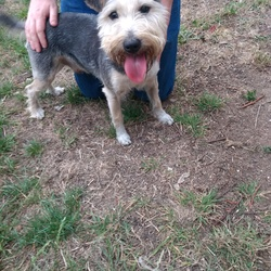 Found dog on 21 Jul 2018 in Dublin 15. Tall terrier found Hazelbury Park, Clonee D15 this evening. Followed us home, no tag. Will check for chip in morning. Contact 0863571175