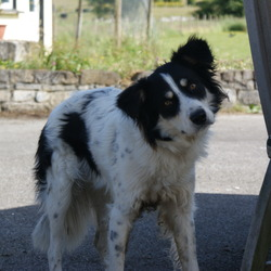 Found dog on 21 Jun 2010 in New Inn Co. Galway. A male collie cross, unneutered, a black collar, no microchip. Really pleasant natured dog.