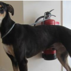 Found dog on 21 May 2018 in Bray. found,  a male lurcher found in the Bray area. Please contact Wicklow Dog Pound for further information at 0404-44873
