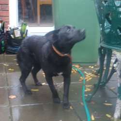Found dog on 21 Nov 2009 in rathfarnham. black, female, with white marking on chest, lovely temperament, very friendly. knows sit, most likely family pet. contact 0868303914 or 0863322648