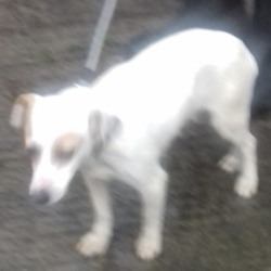 Found dog on 21 Nov 2018 in Cookstown Ind Est Tallaght. found, now in the dublin dog pound...Date Found: 20/11/2018 Location Found: Cookstown Ind Est Tallaght