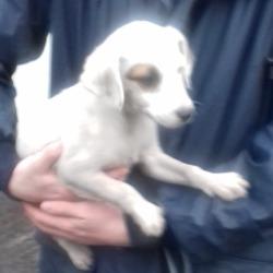 Found dog on 21 Nov 2018 in Cookstown Tallaght. found, now in the dublin dog pound..Date Found: 20/11/2018 Location Found: Cookstown Tallaght