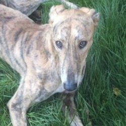 Found dog on 21 Nov 2018 in Kilmainham . found..Lors lost dogs page Page Liked · 3 hrs ·    FOUND : lovely friendly greyhound found on south circular road Kilmainham on the 18 th of November. In the care of finder proof of ownership compulsory pf. Donohoe