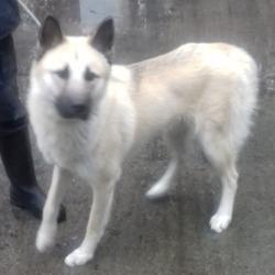 Found dog on 21 Nov 2018 in Mount Venus Road Rathfarnham. found, now in the dublin dog pound..Date Found: 20/11/2018 Location Found: Mount Venus Road Rathfarnham