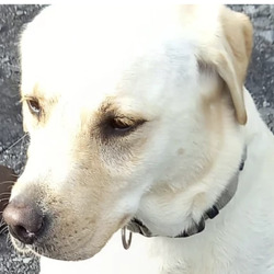 Found dog on 21 Sep 2021 in tallaght. found, now in the dog pound... Goldie    South Dublin County     Council     Goldie is a Labrador and she came to  us  as a  stray from Tallaght on 16/9/21.  She  is  roughly 5/6 years  old.   She  is a lovely dog  and is playful. She is not   microchipped and we are currently  looking for   her owner. (RECLAIMED FROM ASHTON DOG POUND)