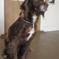 Found dog on 22 Aug 2018 in Rathnew area. found..is a female spaniel found in the Rathnew area. Please contact Wicklow Dog Pound for further information.
