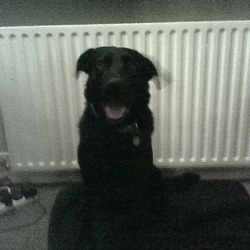Found dog on 22 Dec 2009 in Clontraf Dublin. Black labador Type dog