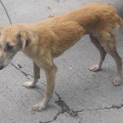 Found dog on 22 May 2018 in Kishoge Park. found, now in the dublin dog pound...Date Found: 21/05/2018 Location Found: Kishoge Park