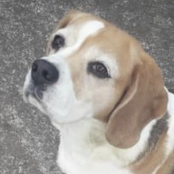 Found dog on 22 May 2020 in  carpenterstown.. found...FINGAL Dog Owners Group 48 mins ·    Does anyone recognise this beagle??? Found this morning in riverwood, carpenterstown. Currently with finder.